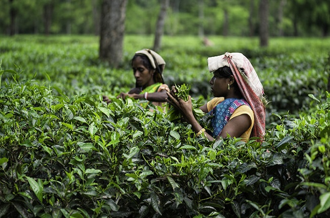 Mangalam Tea Estate in Assam North East