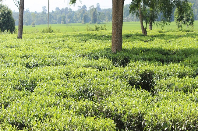 Meleng Tea Estate in Assam North East