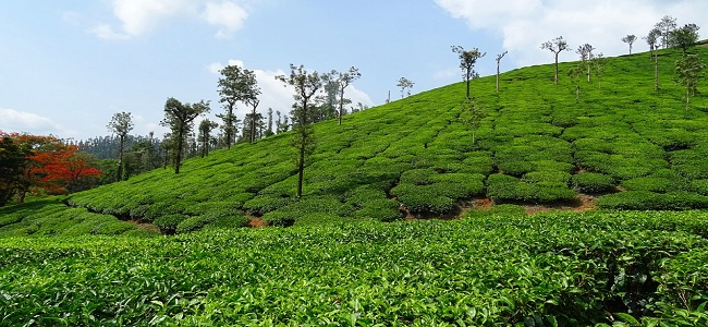 Tea Estates in Assam